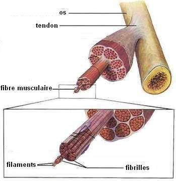 tendinite-anatomie-laser