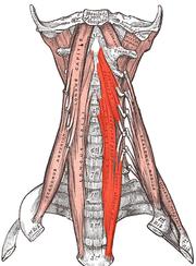 muscle long du cou